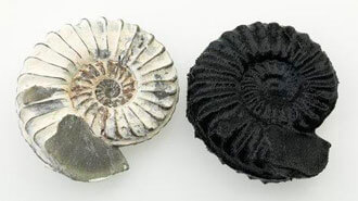 A real ammonite next to a 3D printed one Credit: museumvictoria.com